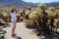The Cholla Cactus Garden in Joshua Tree National Park is close to the main road and is an easy walk. The 'garden' is dominated by 'jumping cholla', named for their habit of attaching themselves to passers-by.