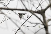 A yellow-rumped warbler takes off from a branch in the Heard Natural Science Museum & Wildlife Sanctuary in McKinney, home to 200 species of birds.