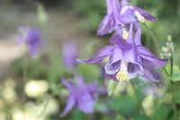 """Columbines are among Arlene Hamilton's favorite flowers """"because it comes up so early,"""" she says. It reseeds itself in her garden."""
