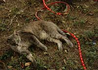 A cat named Lycan lies on lights near a Halloween display at the home of Ralph Granado Friday, September 28, 2012 in Dallas.