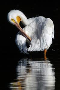 An American White Pelican preens itself during a fall migration stop at White Rock Lake in October 2003