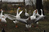 Wilbur (at left, with white wings outstretched in 2007) led a motley crew of about 30 geese - by force, if necessary. He broke up fights among them, biting them on their necks or yanking them by their wings.