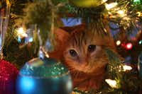 "Garfield plays in Aimee Wilson's  Christmas tree in her photo titled ""Christmas Kitty.""(Aimee Wilson)"