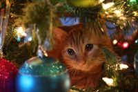 "Garfield plays in Aimee Wilson's  Christmas tree in her photo titled ""Christmas Kitty.""(Aimee Wilson)"